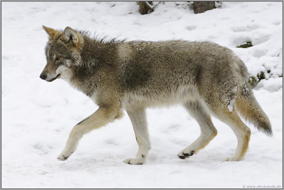 graubraun europ ischer wolf canis l lupus wunderbare. Black Bedroom Furniture Sets. Home Design Ideas