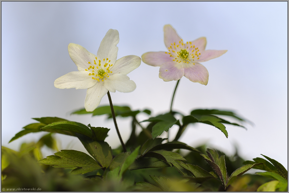 Fruhbluher Buschwindroschen Anemone Nemorosa
