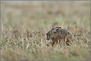 Duckmäuser... Feldhase *Lepus europaeus*