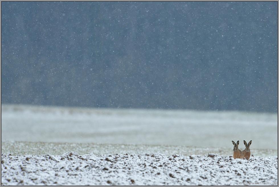 Gartenmobel Eisen Weiss : draußen im Feld Feldhasen Lepus europaeus (wwwwunderbareerde