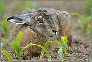 "Aug' in Aug' oder ""Kein-Angst-Hase""... Feldhase *Lepus europaeus*"