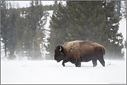 Winter im Yellowstone...  Amerikanischer Bison *Bison bison*