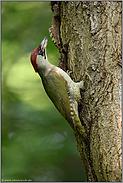 Futter für den Nachwuchs... Grünspecht *Picus viridis*