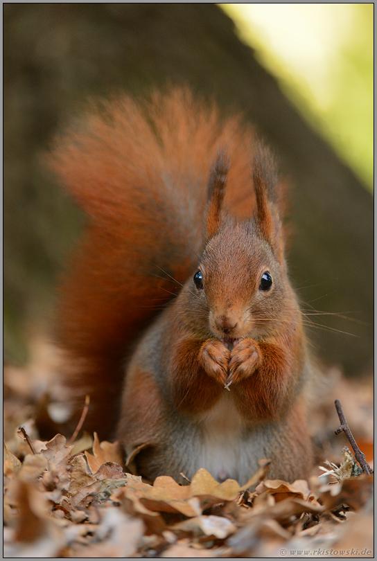 Eichhörnchen Nahrung Arbeitsblatt : Rotes eichhörnchen europäisches sciurus
